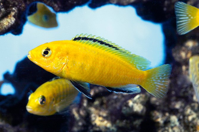 Malawi 39 s finest the yellow lab labidochromis caeruleus for Yellow tropical fish