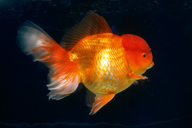 Which fancy goldfish can i keep all year round in ponds for Fish suitable for small pond