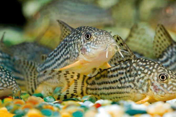 Five fantastic Corydoras ? Practical Fishkeeping Magazine
