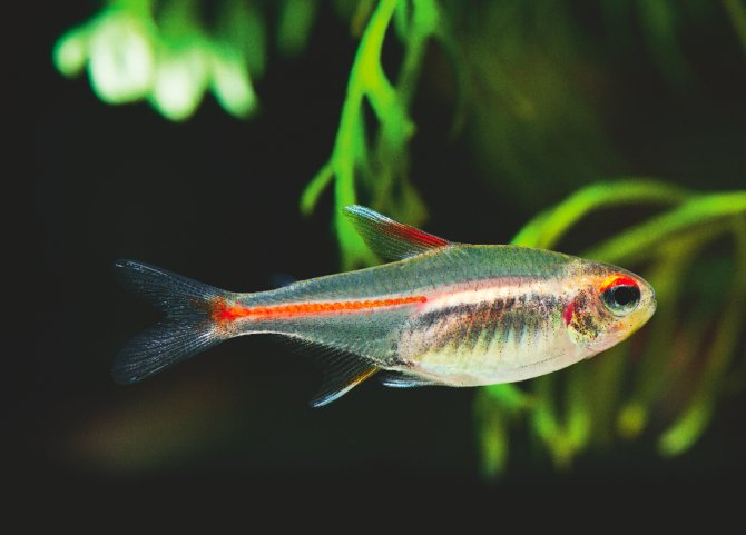 How to breed the glowlight tetra practical fishkeeping for Tetra acquario