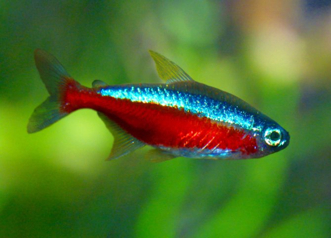 New ways to mix your community fish practical for Small tropical fish