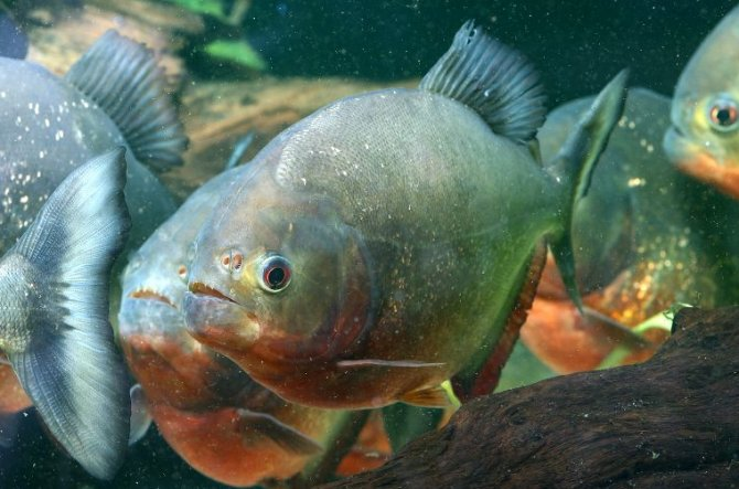 What you need to know about predator fish and thiaminase for Predatory freshwater fish