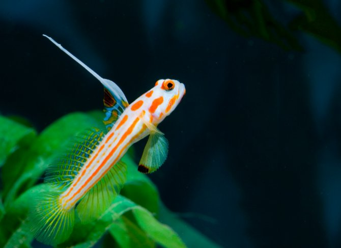 sleeper goby and pistol shrimp relationship