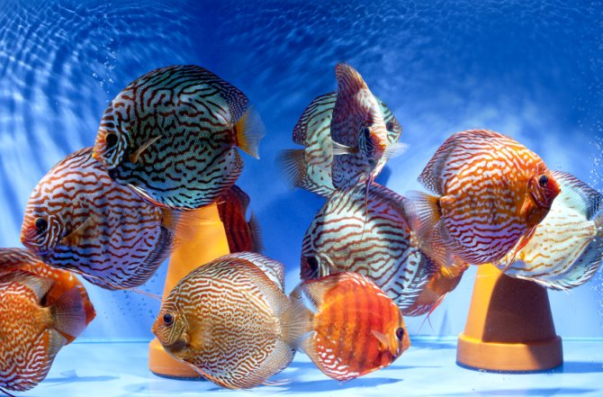 Discus the whole truth and nothing but practical for Keeping discus fish