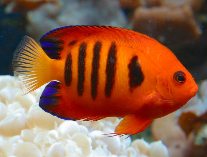 Saltwater Dwarf Angelfish dwarf angelfish: heaven sent? ? practical ...