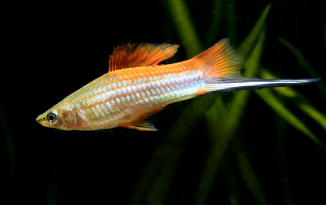 Great fish swordtails practical fishkeeping magazine for Fish and tails