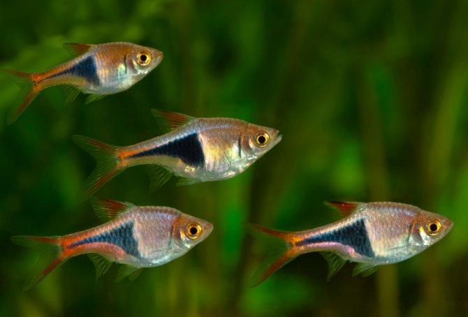Rasboras: The Spartacus fish ? Practical Fishkeeping Magazine
