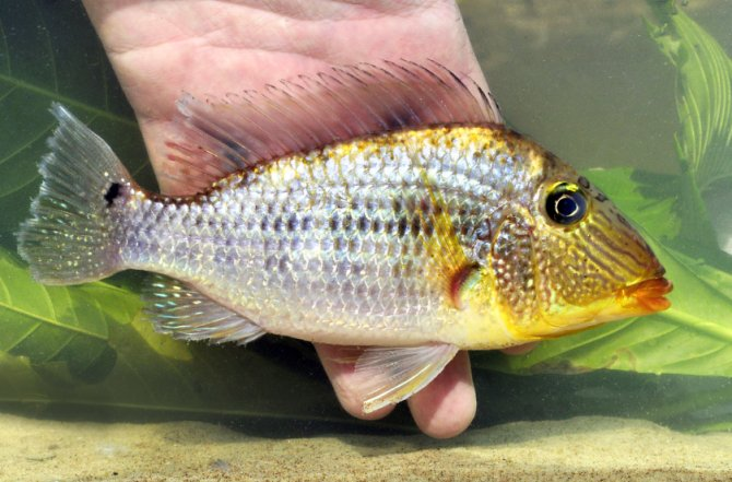 Heiko Bleher discovers: Cichlids of the Rio Purita? ? Practical ...