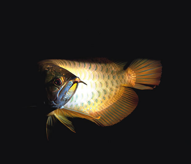 How to keep asian arowana practical fishkeeping magazine for What is the healthiest fish