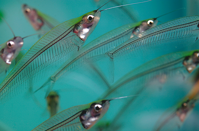 Glass catfish: Clearly different! ? Practical Fishkeeping Magazine