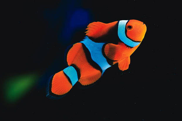Do clownfish always live in pairs practical fishkeeping for Where do fish live