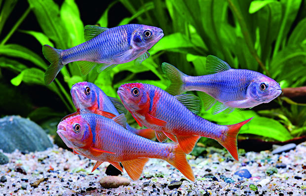 red shiner cyprinella lutrensis practical fishkeeping