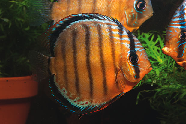What temperature is the water where discus live for Beta fish water temp
