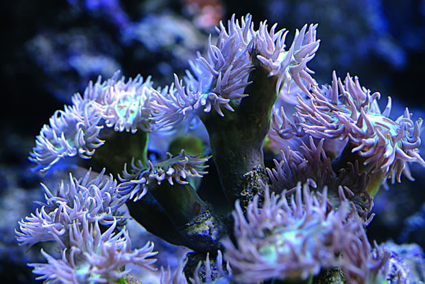 Duncan S Coral Duncanopsammia Axifuga Practical