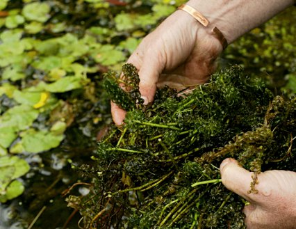 How to avoid summer pond problems practical fishkeeping for Oxygenating plants for a small pond
