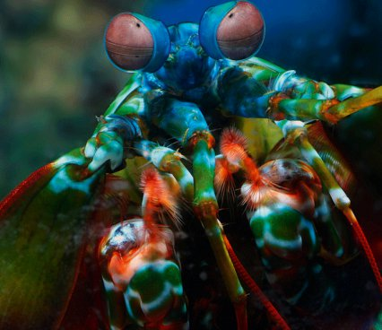 Zebra mantis shrimp eyes - photo#21