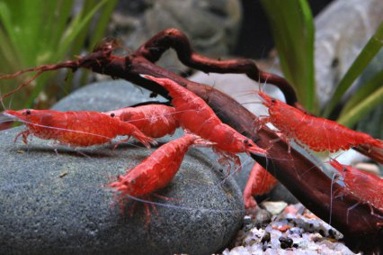 Frequently asked questions on Neocaridina shrimps ? Practical ...