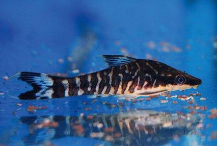 Midget suckermouth catfish galleries 401