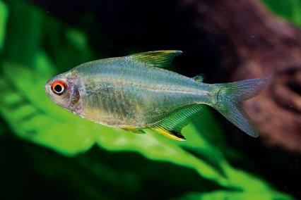12 great munity tank tetras — Practical Fishkeeping #0: 4dae ff96