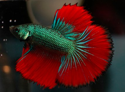Frequently asked questions on siamese fighters practical for Can you put betta fish with other fish