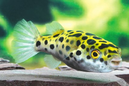 Pufferfish inflated egotists practical fishkeeping magazine for Dwarf puffer fish for sale