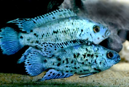 Keeping jack dempsey cichlids in the aquarium practical for Jack dempsey fish