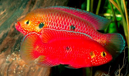 South american cichlids list - photo#23