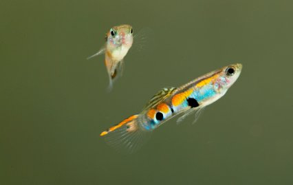 Endler guppies.