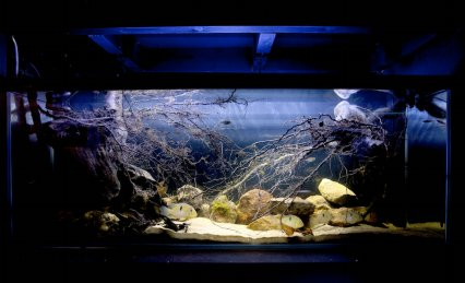 The tank started life as biotope, but after a lot of research, Nick added fish that suited the layout best.
