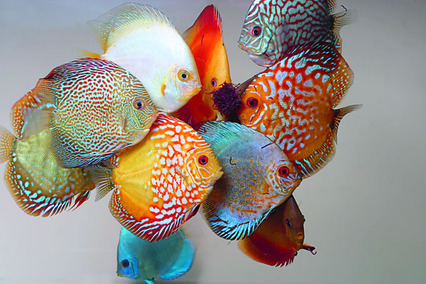 The 75 Most Colourful Fish Practical Fishkeeping Magazine