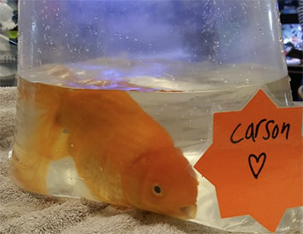 Carson is bagged up ready to go to his new home. Picture by Lynchwood Aquatics/facebook