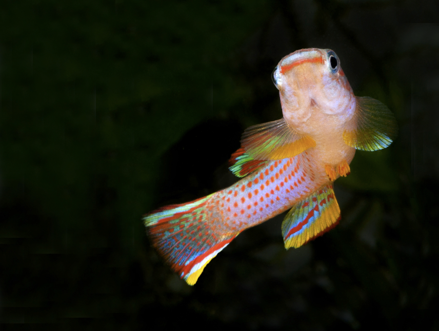 Males Striatum killies rival many marine fish in terms of colour.