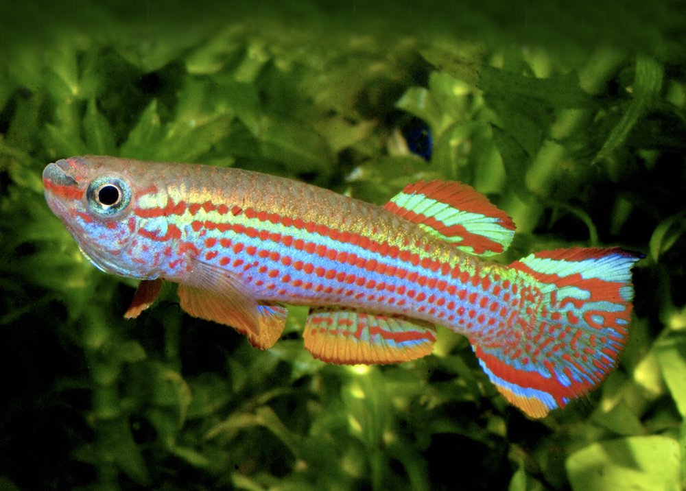 Get Started With Killifish Practical Fishkeeping Magazine
