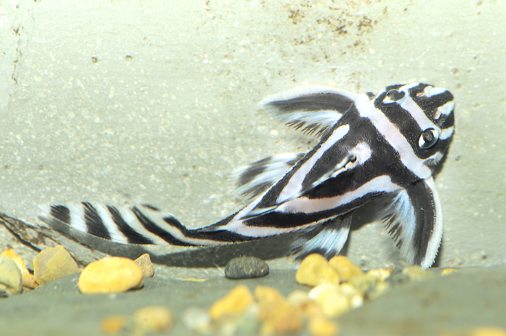 Zebra plec, Hypancistrus zebra. Picture by AquariumPhoto.dk
