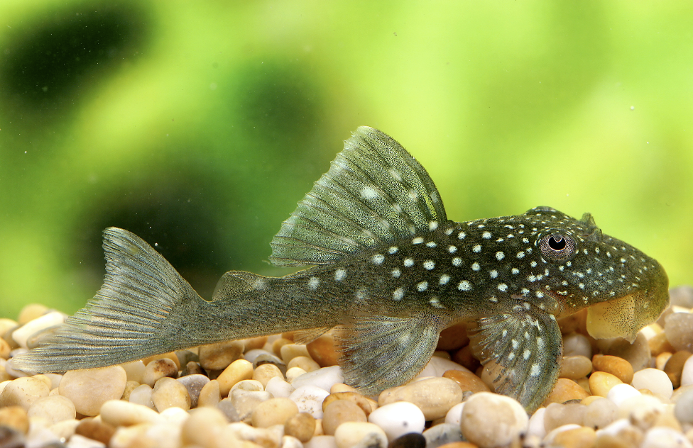 The Blue phantom is a more peaceful species of plec.
