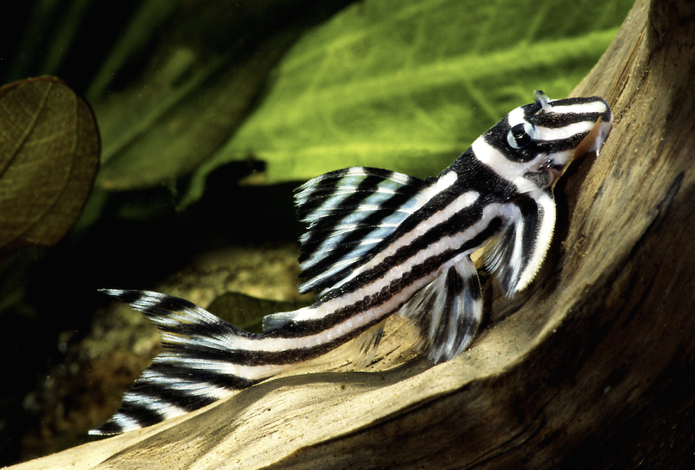 Prepare to pay £100 or more for a juvenile Zebra plec.