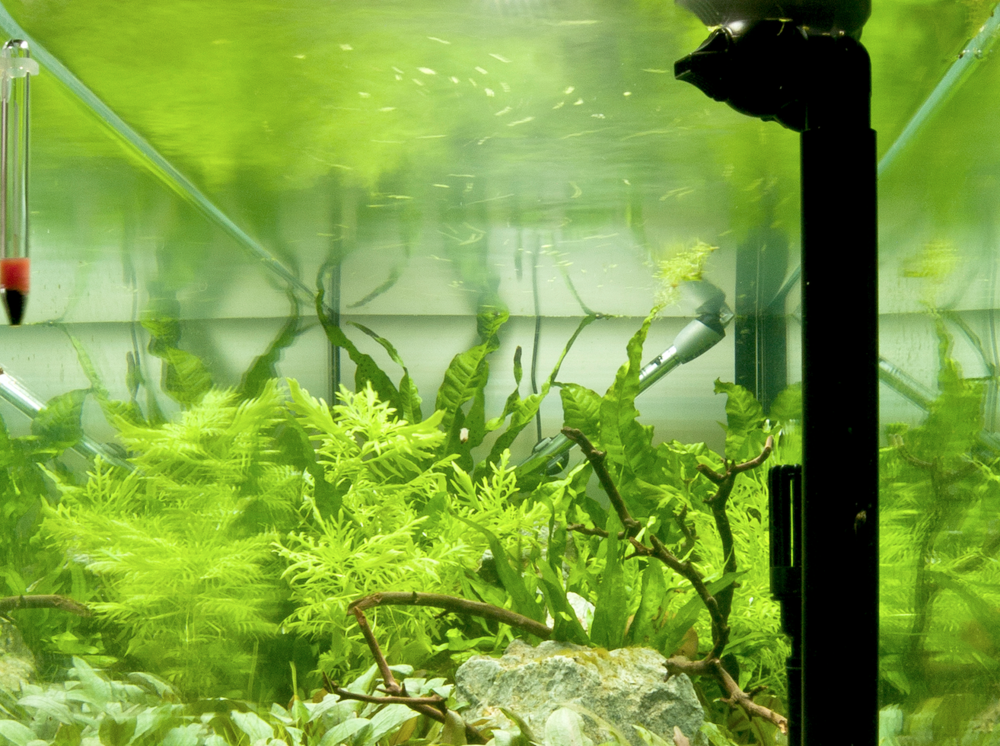 Green dust algae is more common in new tank set-ups. Image by Nathan Hill.