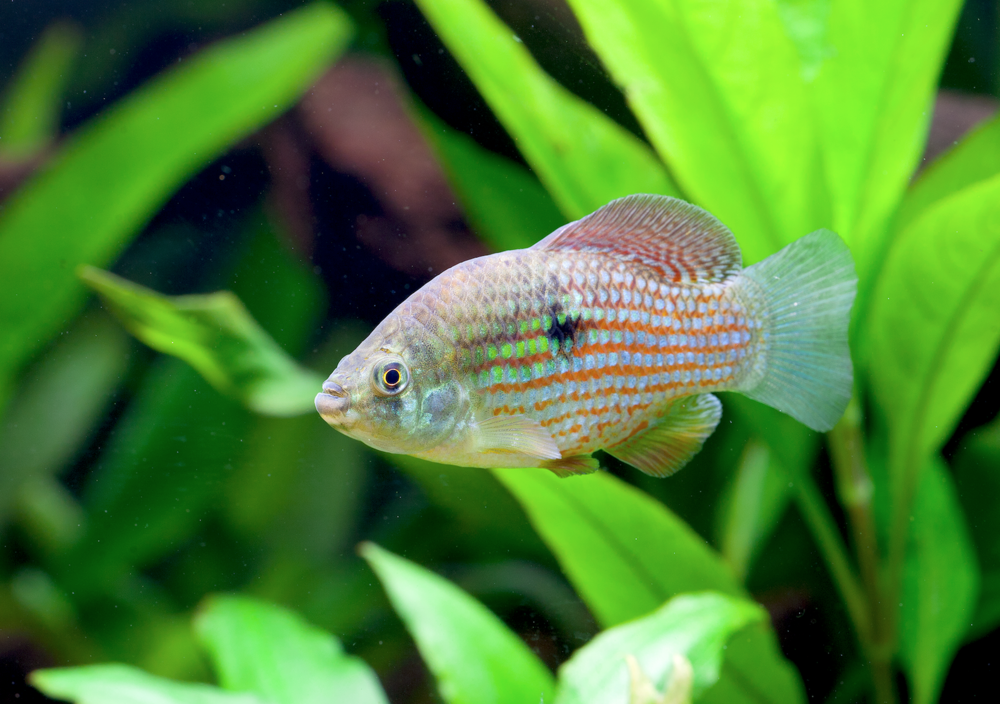 American flagfish, Jordanella floridae, like to nibble at tufts of algae, and they'll even tolerate an unheated tank of 18°C/64°F or so. On the downside, they're waspish in a community and prone to nipping tank mates.