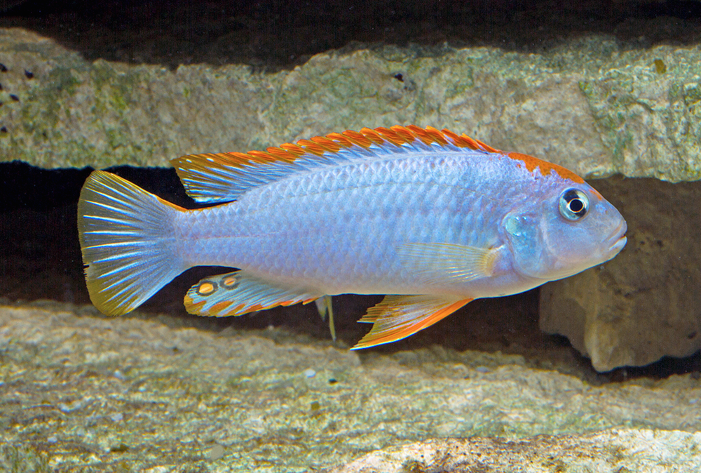 Pseudotropheus perspicax. Image by Kevin Bauman.