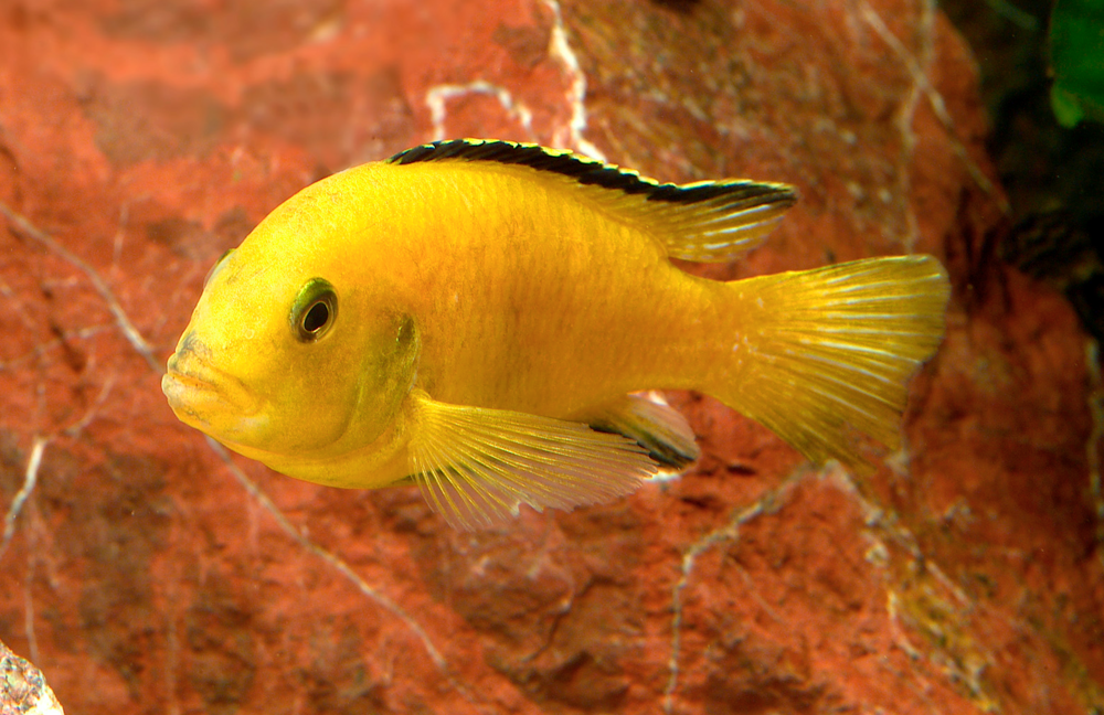 Labidochromis caeruleus  yellow  — bright yellow males, females and fry. Image by MP & C Piednoir,  Aquapress.com.