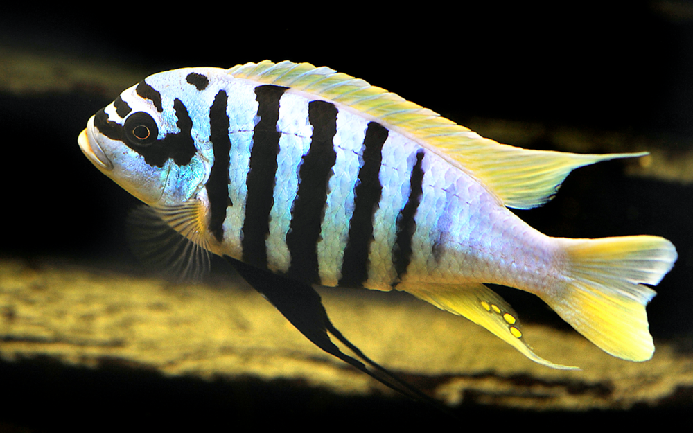 Male Metriaclima zebra and similar species display vertical barring which give the zebra complex its name. Image by AquariumPhoto.dk