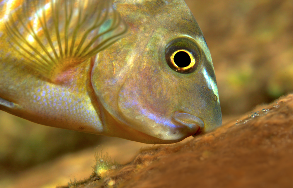 The underslung mouths of  Labeotropheus  are perfect for feeding on algae growths. Image by Ad Konings.