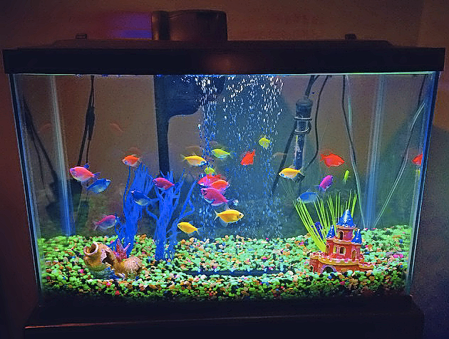Will we eventually see Glofish here in the UK? Image by Matt, Creative Commons.