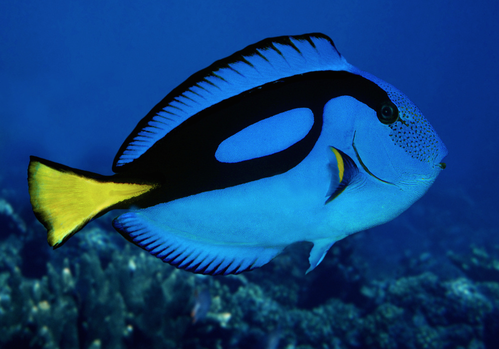 With the release of Finding Dory, the Regal tang is expected to see a surge in popularity. Image by Alamy.