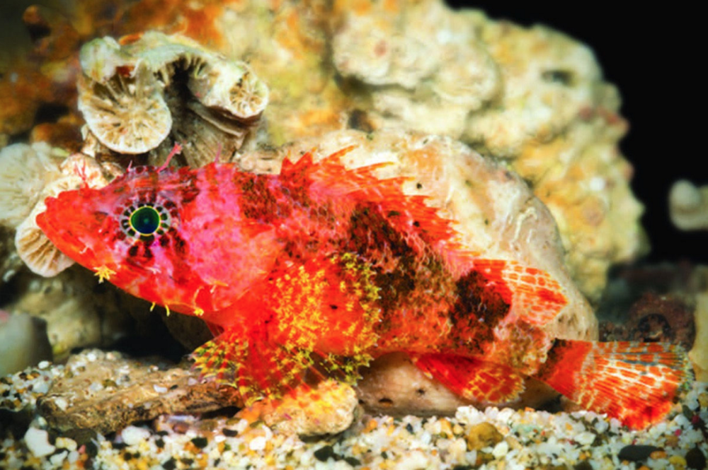 Stellate scorpionfish, Scorpaenodes barrybrowni. Image by Barry Brown.