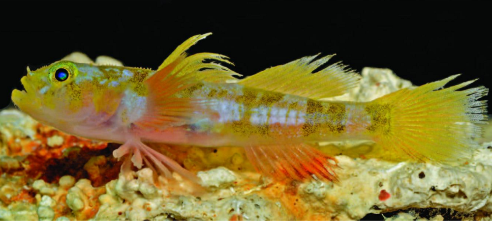 The Godzilla goby, Varicus lacerta, which the Smithsonian team discovered earlier this year. Image by Barry Brown.