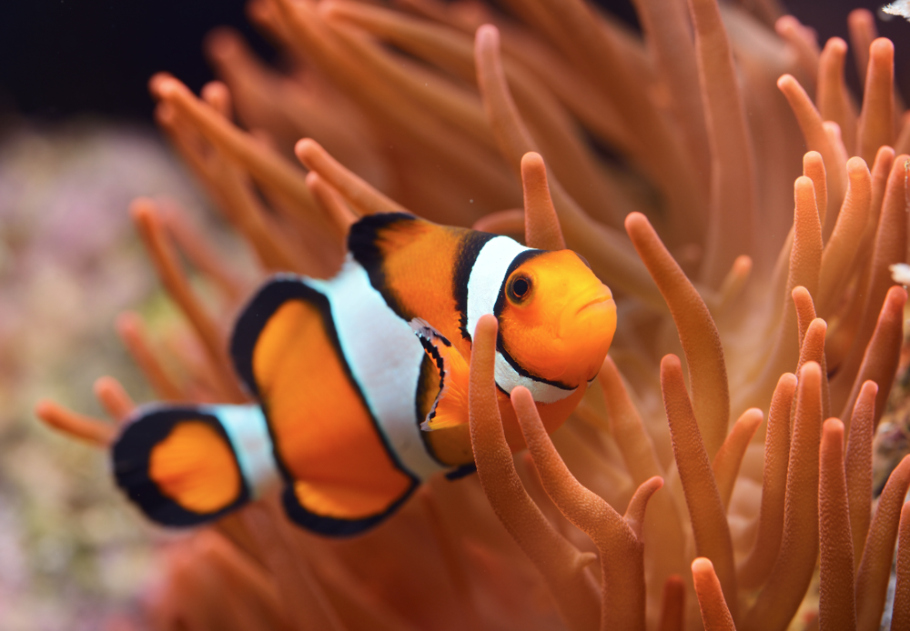Common clownfish. Image by Shutterstock.