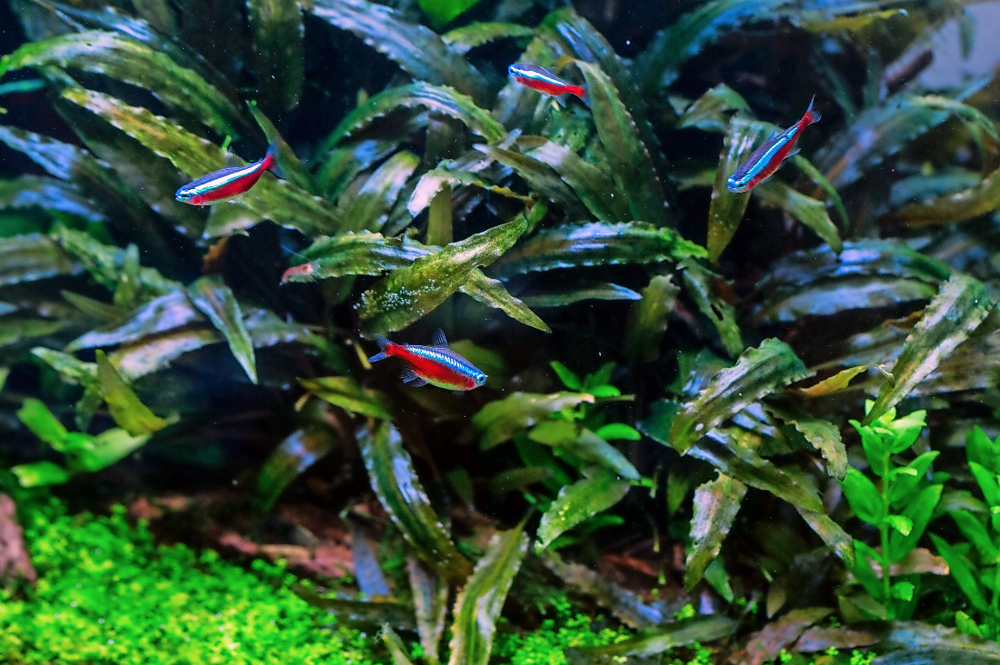 Cardinal tetras against a background of Cryptocoryne wendtii 'Brown'.