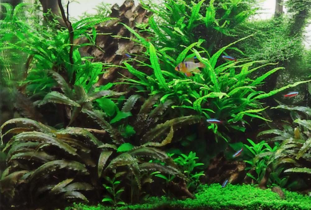 Kris does a weekly 50% water change and trims the plants at least once every eight weeks.