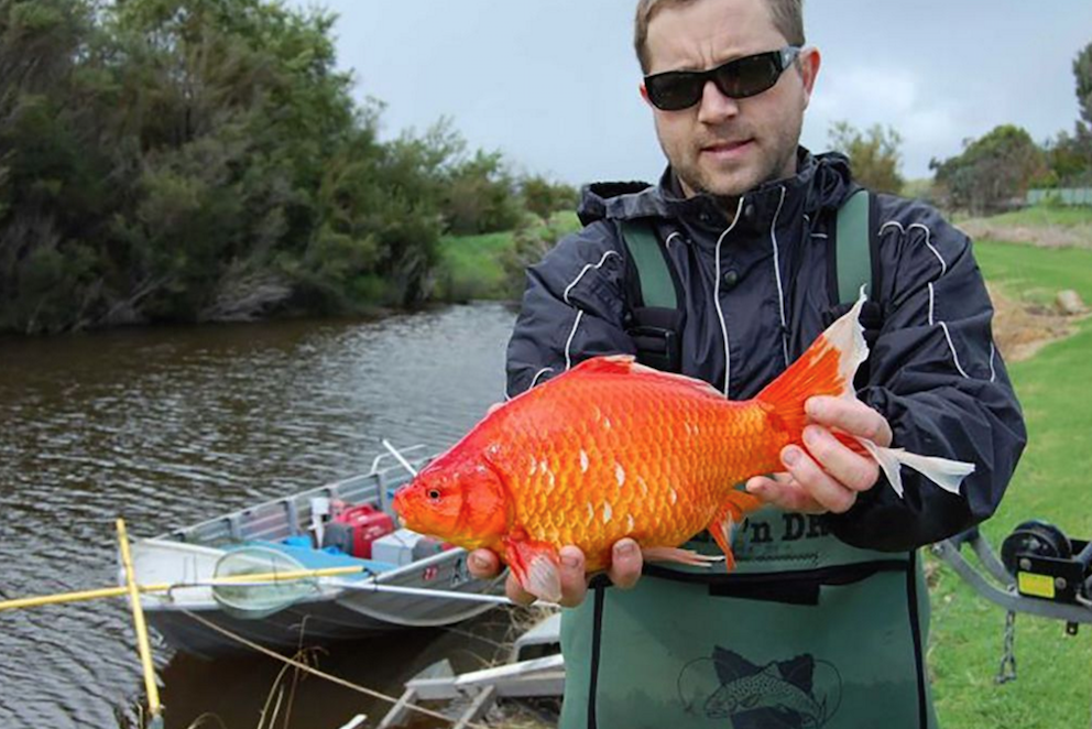 Dr Stephen Beatty with a super-sized goldfish — these fish are wreaking havoc in Australia and are considered one of the world's worst invasive species. Image by Murdoch University.